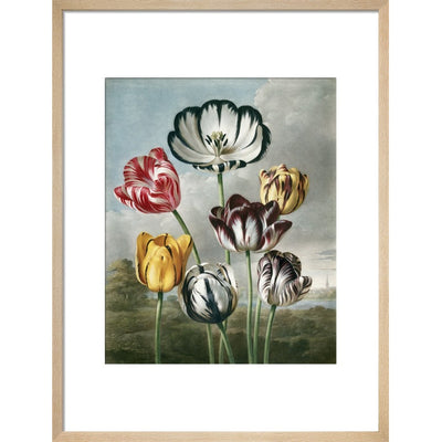 Tulips - The Temple of Flora print in natural frame