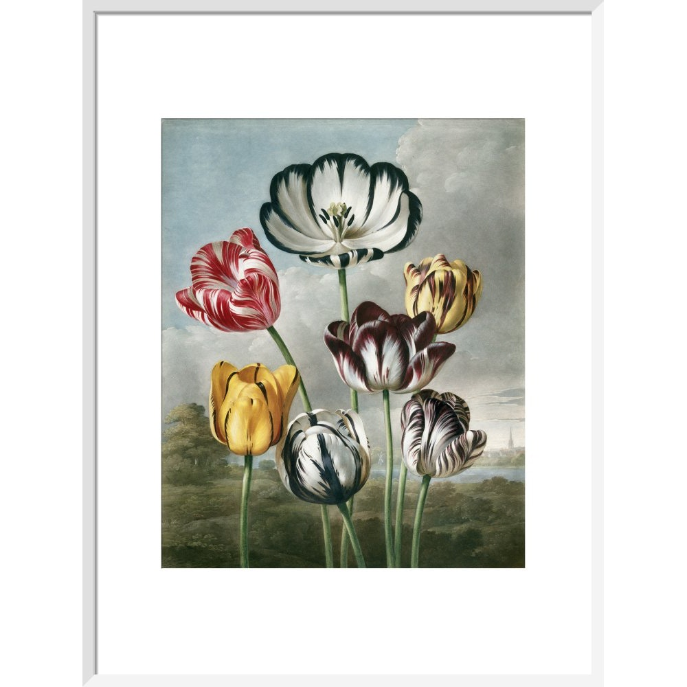 Tulips - The Temple of Flora print in white frame
