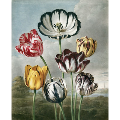 Tulips - The Temple of Flora print