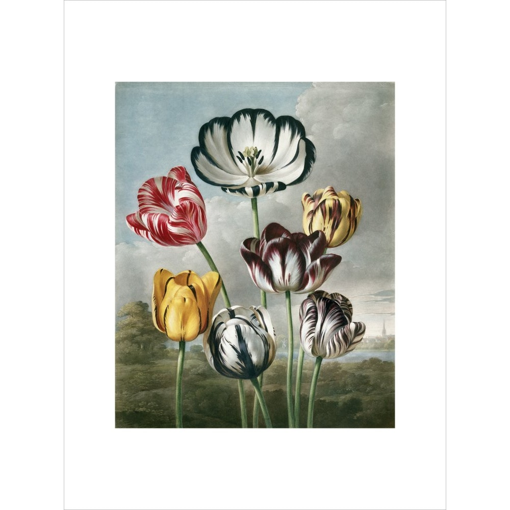 Tulips - The Temple of Flora print unframed