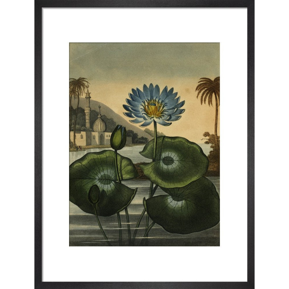 Blue lotus print in black frame