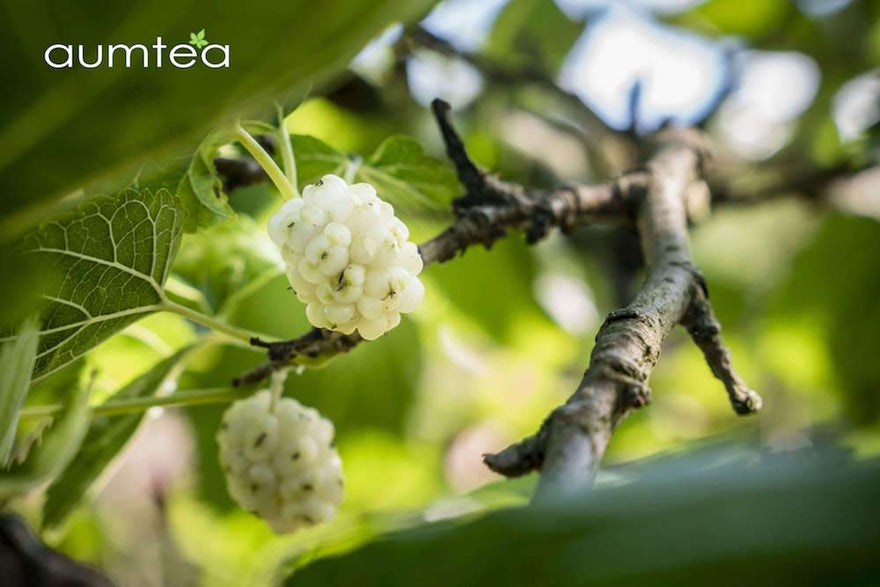 c3c6db9e9a White Mulberry Leaf Health Benefits – Can it Really Help You? - Aum ...