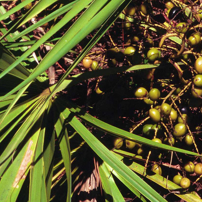 Saw Palmetto and Urinary Tract Function