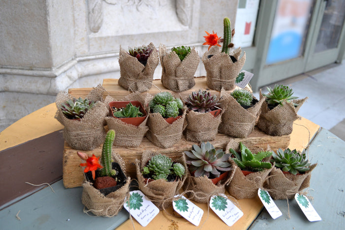 Succulent for party favor, wrapped in Burlap, and comes with tags and table cards, 14 potted succulents, FREE SHIPPING - OakPo Paper Co.