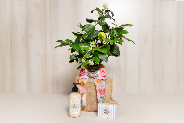 Lemon Tree Bundle