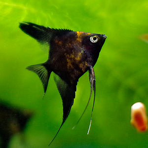 Creation of Black Splash Angelfish