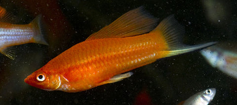 hi-fin red swordtail