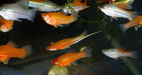 wild-cross swordtail group