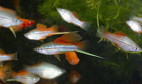 hi-fin neon swordtail