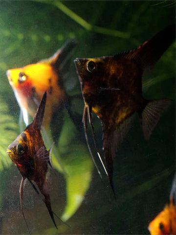 Black Splash angelfish in foreground