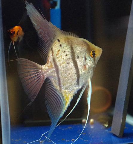 wild peruvian koi angelfish male