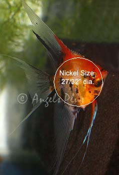 Angelfish size example