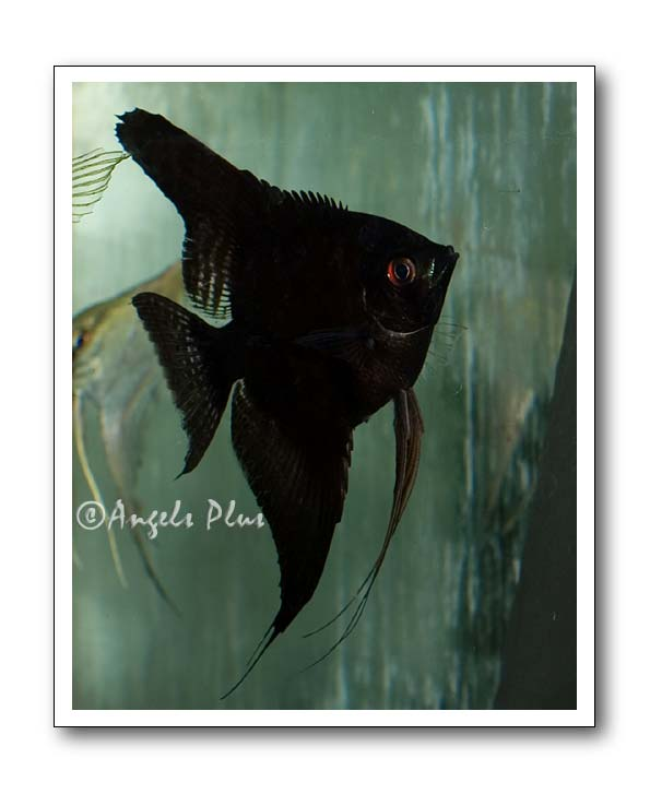 Black Angelfish Adult