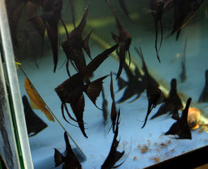 Black Angelfish Juveniles