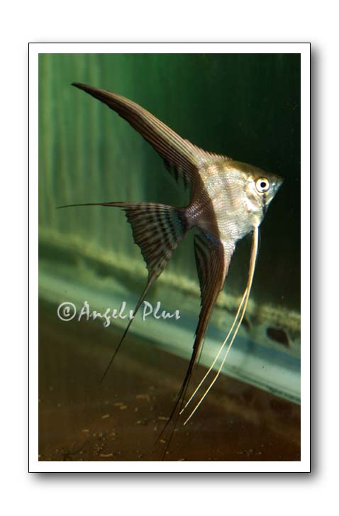 Halfblack Angelfish