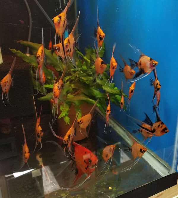 Select Koi Angelfish Juveniles