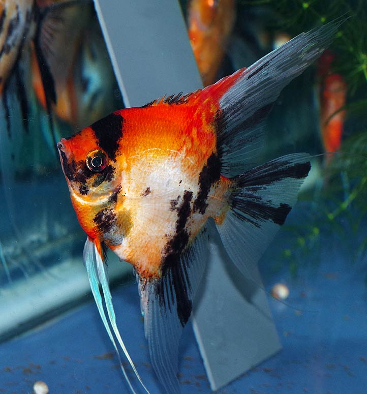 Premium Koi Angelfish