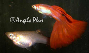 Red Guppy Pair