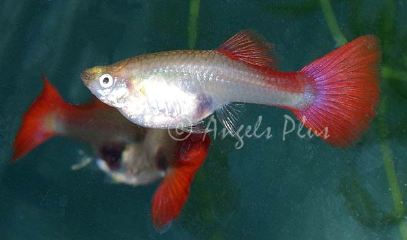Red Guppy Female