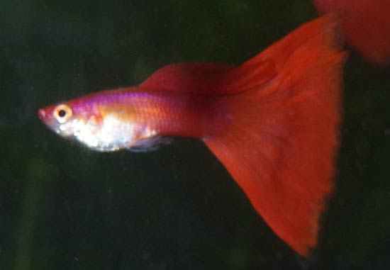 Red Guppy Male