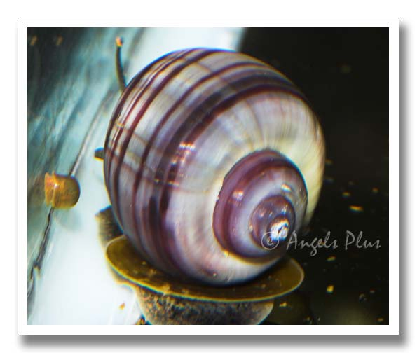 Adult Dark Stripe Purple Mystery Snail