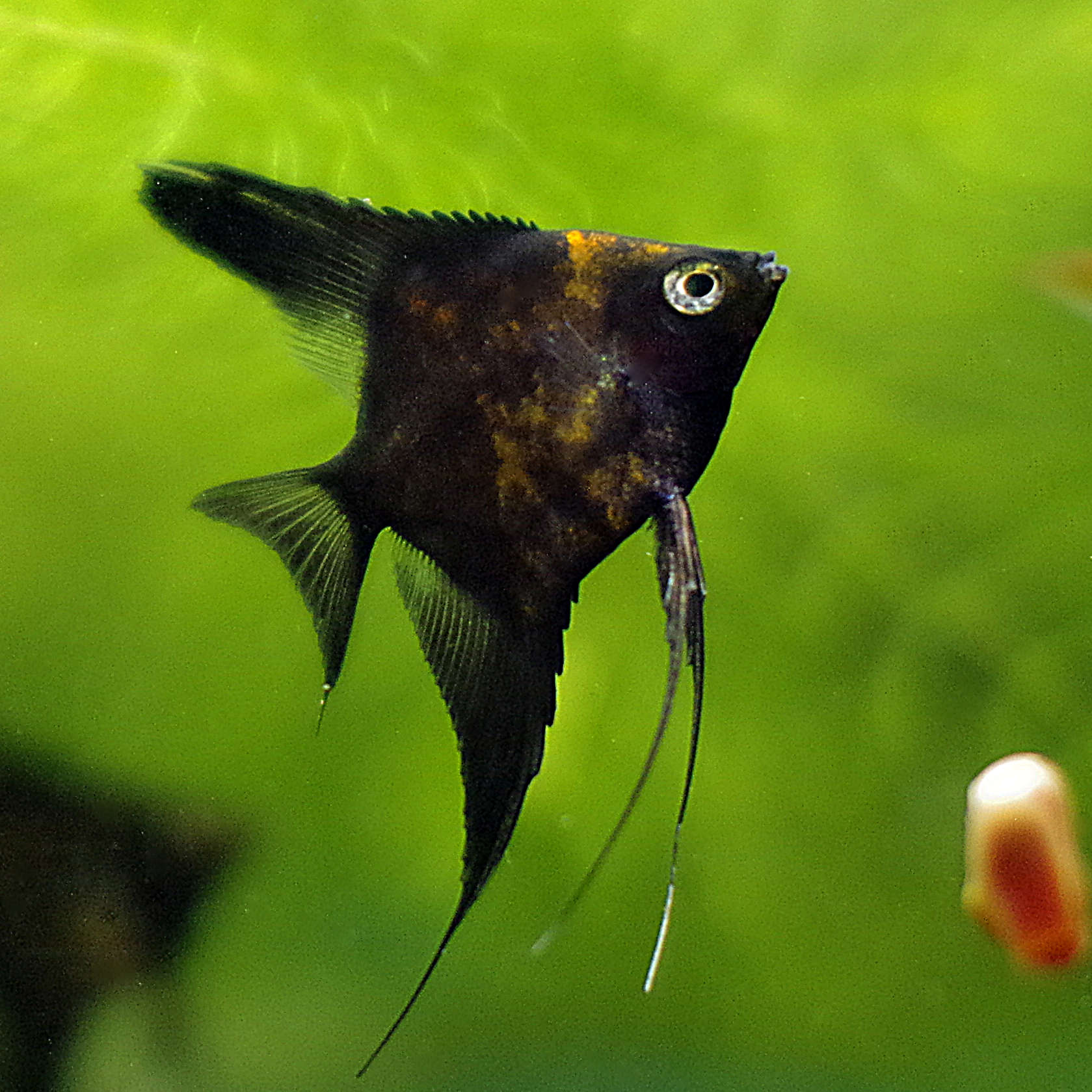 Black Splash Angelfish - 9 weeks old