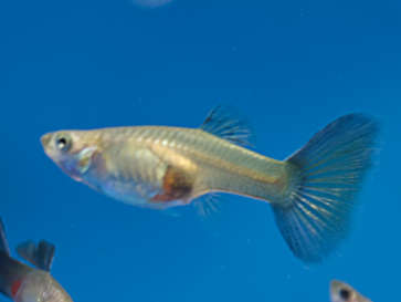 Blue Delta Guppy female