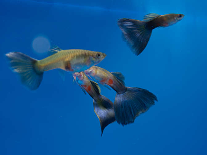 Blue Delta Guppy group