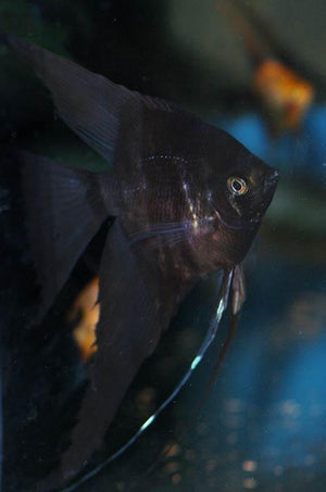 Streaked Black Angelfish
