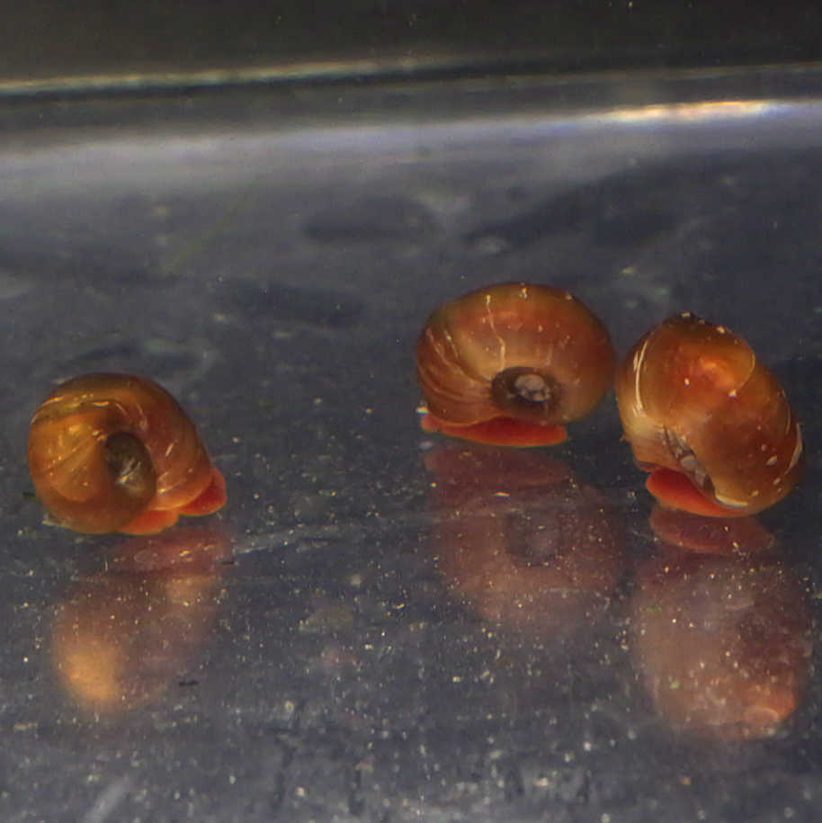 Red Ramshorn Snails