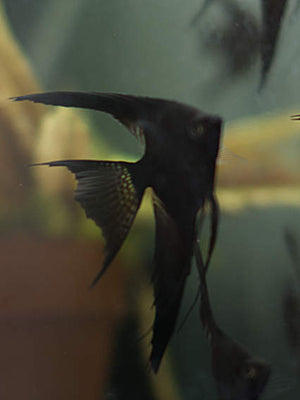 Medium Black Veil Angelfish