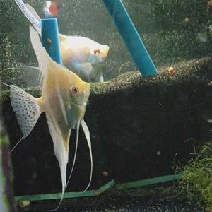 Albino Dantum Angelfish Pair