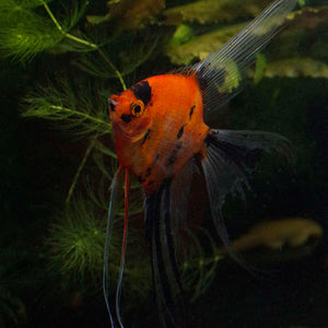 Select Koi Veil Angelfish Adult