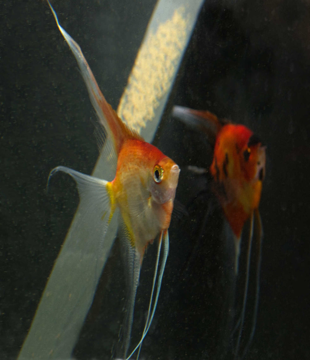 Angelfish Breeding pair #2304