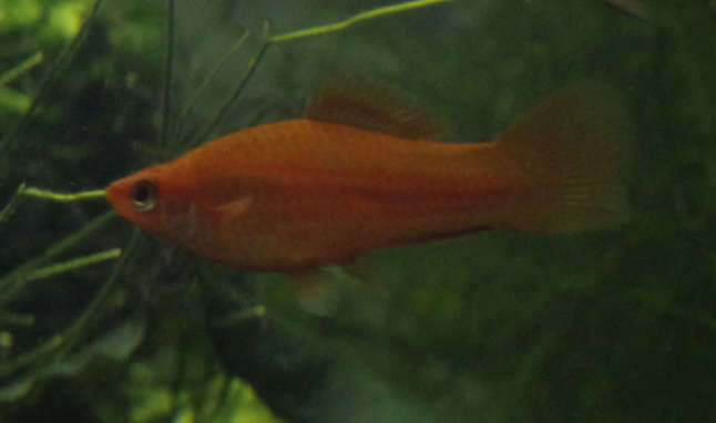 Red Swordtail