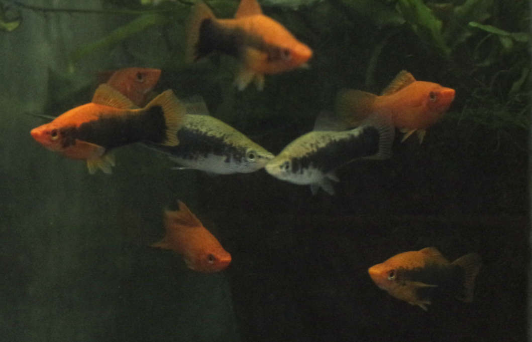 Tuxedo Swordtail Group