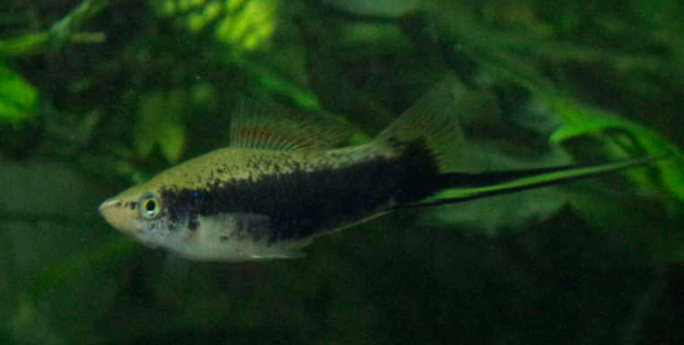 Green Tuxedo Swordtail male