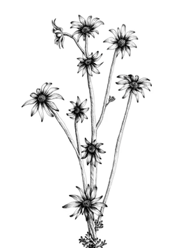 The Flannel Flowers