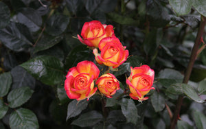 Bicolor Yellow/Red Spray Roses