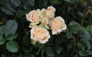 Peach Spray Roses