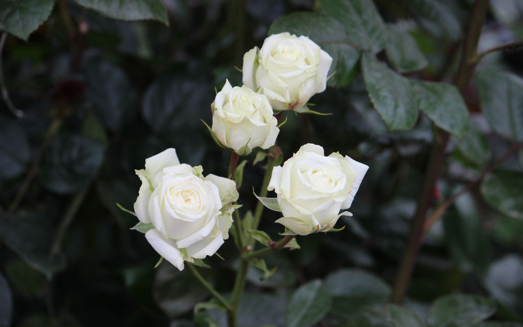 True White Spray Roses
