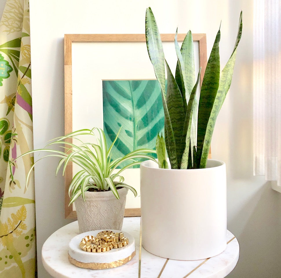 "The ""Unkillable"" Snake Plant ~ Plant Care Tips"