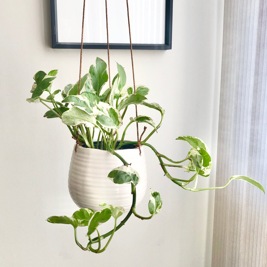 Pearls and Jade Pothos in White Ceramic Hanging Planter_Aloe Gal Plants & Decor