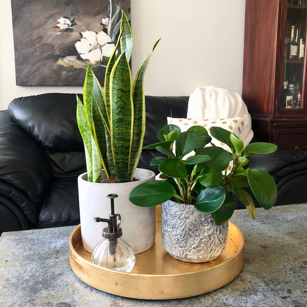 Snake Plant and Peperomia Plant_Aloe Gal Plants & Decor