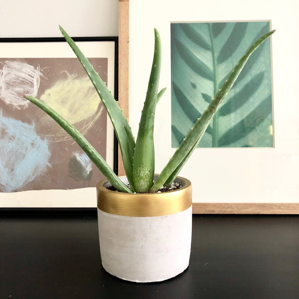 Astoria the Aloe (Small)