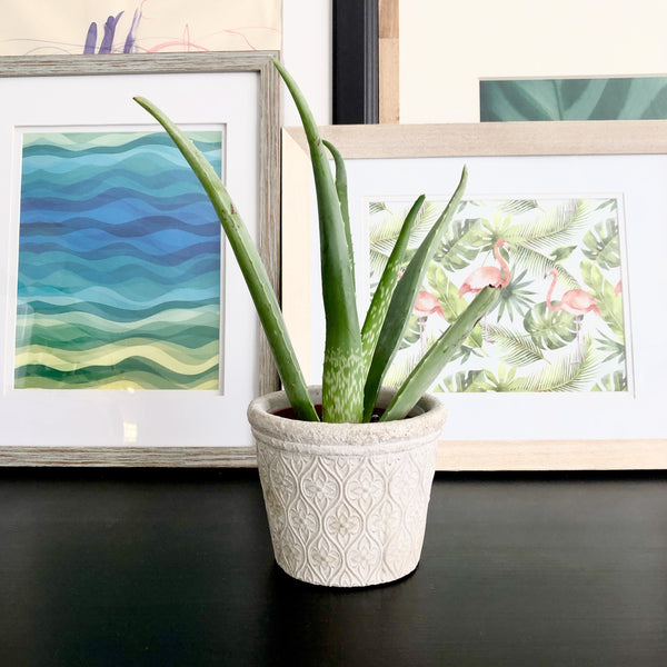 Aloe Vera Plant in Natural White Cement Planter Pot with Arabesque Floral Pattern_Aloe Gal Plants and Decor
