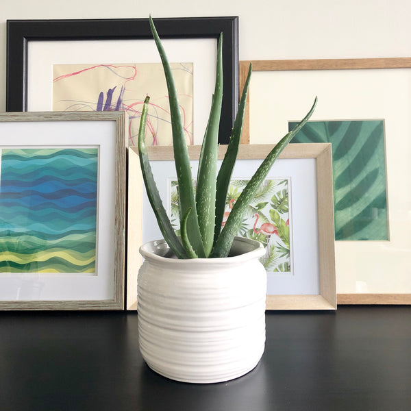 Aloe in White Ceramic Planter Pot_Aloe Gal Plants & Decor