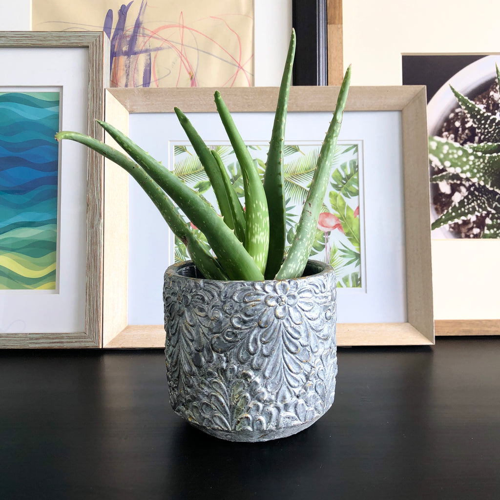 Aloe in Silver Planter__Plants_Houseplants_Plant Gifts_Online Plant Delivery_Aloe Gal Plants & Decor