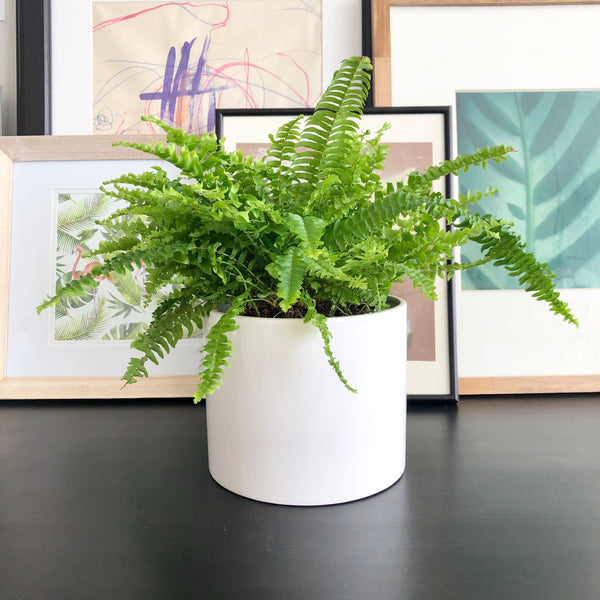Boston Fern in White Ceramic Planter Pot_Aloe Gal Plants & Decor