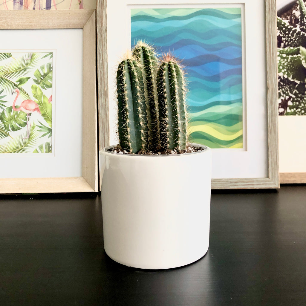 Cactus in White Ceramic Planter_Plants_Houseplants_Plant Gifts_Online Plant Delivery_AloeGal Plants & Decor